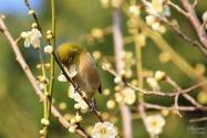 Kumamoto : arbres en fleur