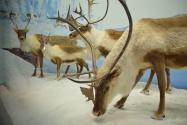 musee de la nature Ottawa : caribous