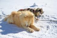 Traineau a chien : Raquam